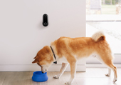 Canary Flex home security camera mounted on a white wall inside as a dog drinks water